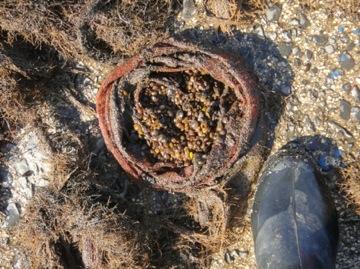 シジミ採苗風景2
